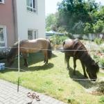DBH-Pferde_097